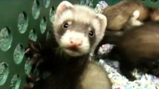 Baby Ferrets Funniest Video Ever!