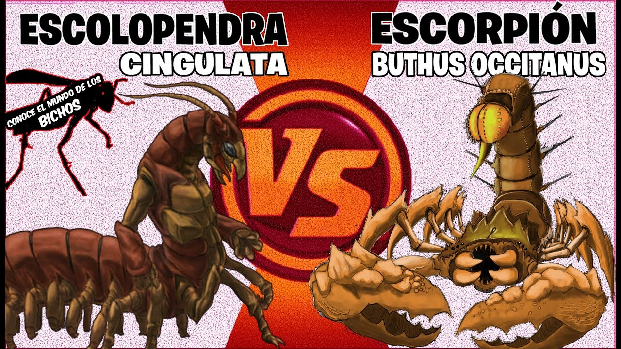 ESCORPIÓN GLADIADOR VS ESCOLOPENDRA | VISUALMENTE MEJORADO