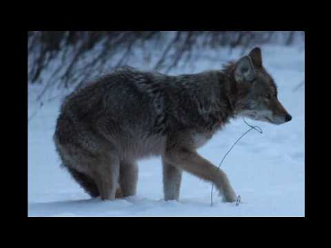 Father Coyote's Life Hangs By Thread After Rescue From Kill Snare