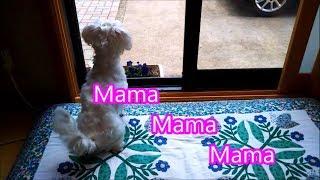 ママが大好きな我が家のマルチーズです。 毎日、ママが帰ってくるのを窓...