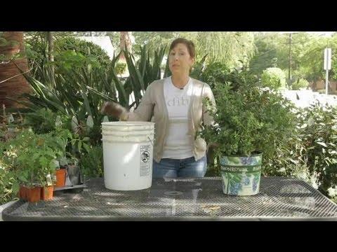 How To Fertilize Blueberries: Ammonium Sulfate : Garden Space