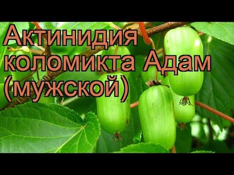 Актинидия коломикта Адам (мужской) (adam) 🌿 обзор: как сажать, саженцы актинидии Адам (мужской)