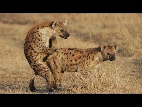 Hyena Mating Hard In The Wild
