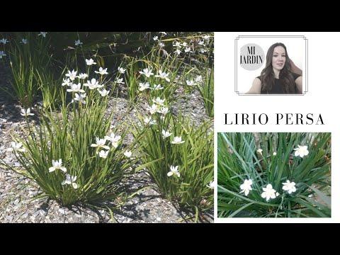LIRIO , ARBUSTO LIRIO PERSA, LIRIO JAPONES,