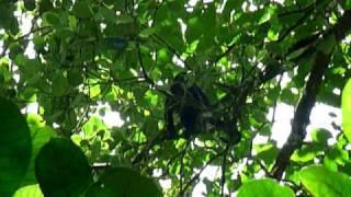singe hurleur, Cahuitas, Costa Rica