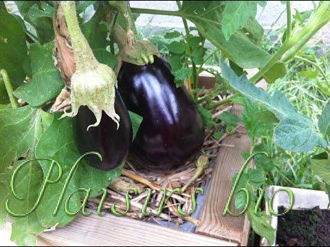 plantation et récolte d'aubergines bio en jardinière