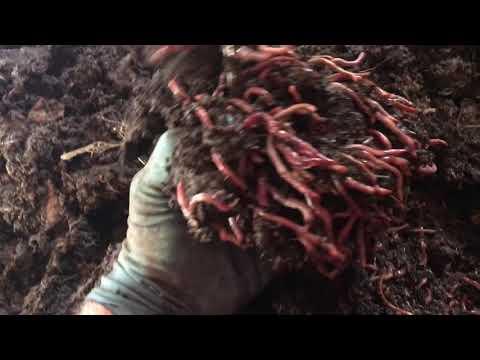 Выращивание калифорнийского червя (ККЧ) 22.01.2019 ч.1