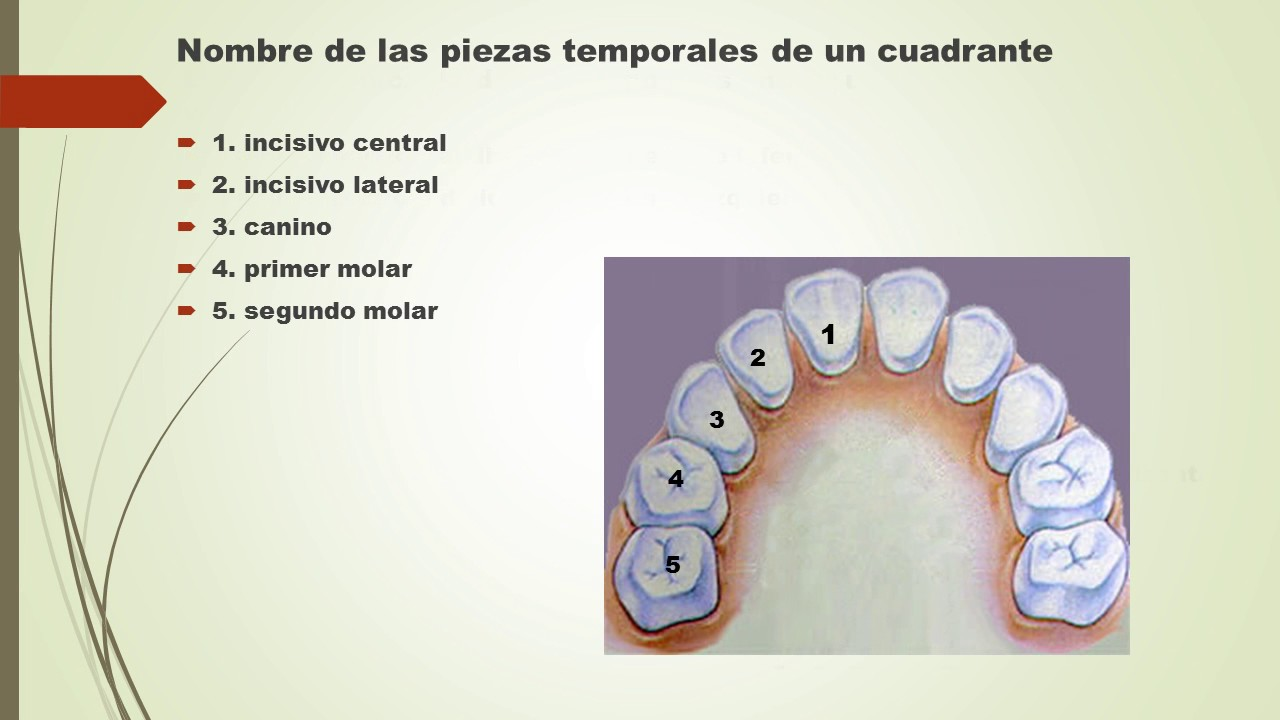 Anatomia Dental 1. Nomenclatura - YouTube