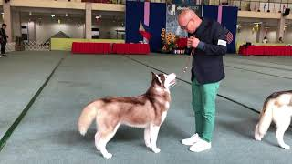 Siberian Husky National Specialty Championship Dogshow.