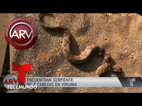 Serpiente de dos cabezas causa asombro en Virginia | Al Rojo Vivo | Telemundo