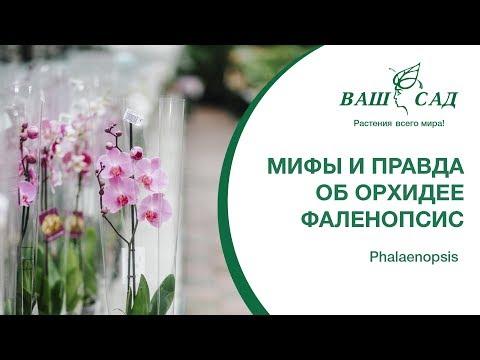 Мифы и правда об Орхидее Фаленопсис Phalaenopsis. Ваш сад