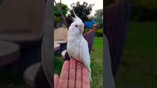 Amazing Albino Cockatiel ❤ #Shorts
