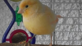 Female canary singing!!!!!!!! (2015)