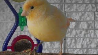 Female Canary Singing!!!!!!!! 2015