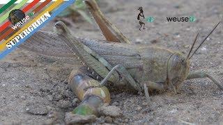 Cavalletta che depone le uova (Incontro ravvicinato in 4k) (Grasshopper laying eggs)