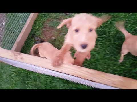 PuppyFinder.com : Mini Labradoodle
