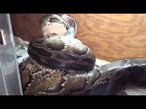 17 foot 280 lbs Burmese python