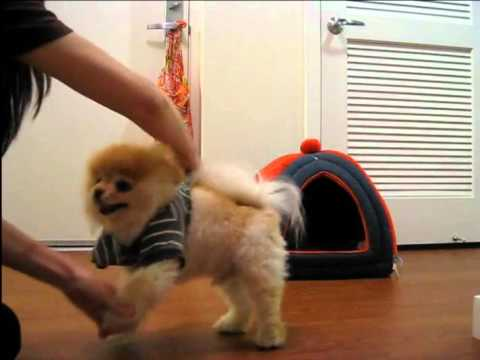 Top Pomeranian Anime Adorable Dog - hqdefault  Collection_746532  .jpg