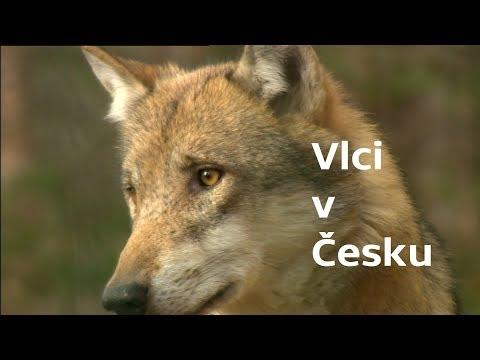 Vlci v Česku