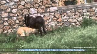 Karakaçan Eşek Ve Golden Köpek Hayvan Davranışları