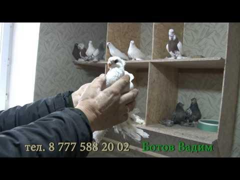 видео: голуби караганда ботов вадим