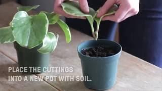 How to Propagate Pepper Elder (Pepperomia Pellucida)