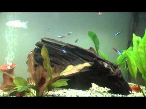 Acquario tropicale acqua dolce 100 litri youtube for Acquario 100 litri prezzo
