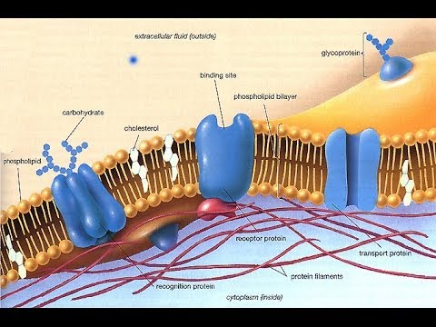 Cell membranes 1 - The Fluid Mosaic model for AS Biology