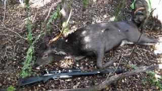 Hunting deer New Zealand, Sika stags in the Scrub Roar 2013