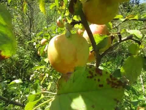 Сорт яблок Пинова