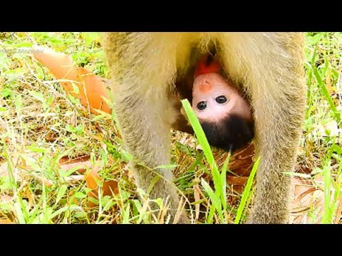 Ah What's This! Newborn Baby Monkey, Janet Is Very Baby Lovely Monkey!