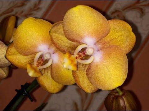 🌸Продажа орхидей по Украине. Отправка в любую точку. (завоз 24 мая 19 г.) ЗАМЕЧТАТЕЛЬНЫЕ КРАСОТКИ