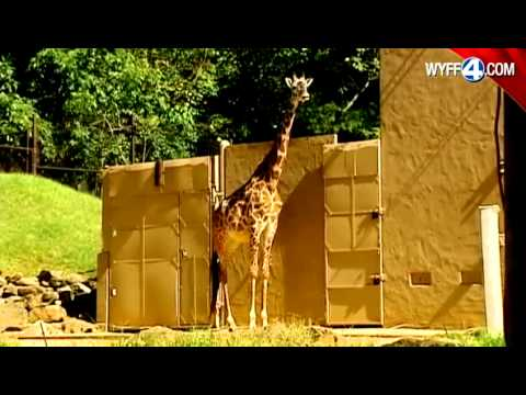 Thumbnail: Pregnant giraffe draws big crowds to the Greenville Zoo