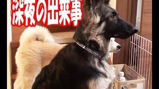 シベリアンハスキー犬 クッキー ジャーマンシェパード犬 マック 秋田犬 ...