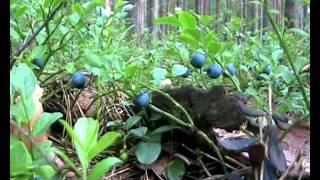 Лесные ягоды:  Черника Blueberry .