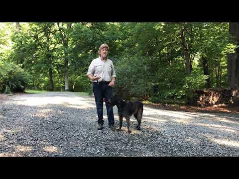 German WireHaired Pointer Puppy Training | Charlotte NC | Izzy
