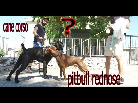 american-bullying-from-pitbull-cane-corso-went-to-avenge-the-king.