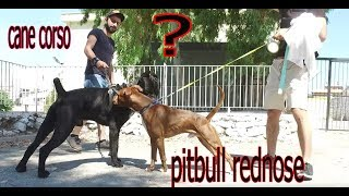 AMERICAN BULLYING FROM PITBULL CANE CORSO WENT TO AVENGE THE KING.