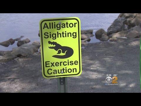 Alligator Seen in New Jersey Duck Pond