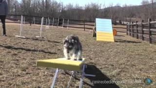 Maryland Dog Training  Maryland Dog Agility Course Run
