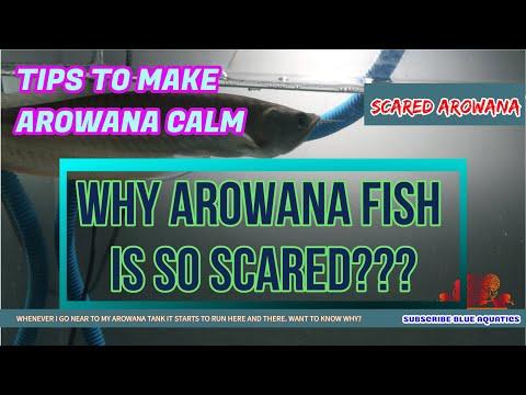 Arowana Fish Is Scared - Easy Ways To Recover Arowana From Stress