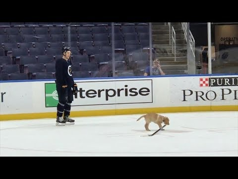 Watch Adorable Puppy Steal Hockey Team's Sticks And Pucks