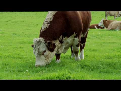 Irish Hereford Breed Society