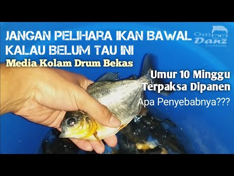Tips Cara Budidaya Ikan Bawal Lahan Sempit Kolam Drum Plastik Bekas Youtube