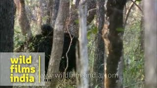 Sloth Bear with babies riding piggy back in central Indian forests