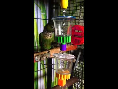 Lucky Conure & His Bottoms Up Foraging Toy