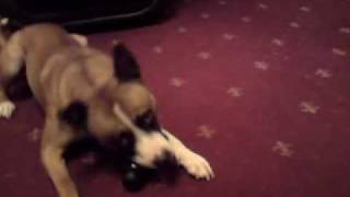 Silly Rocco The Shar Pei/staffie Cross
