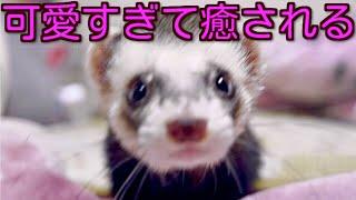 《かわいい》癒される動物フェレット チャンネル登録是非お願いします♪ ...