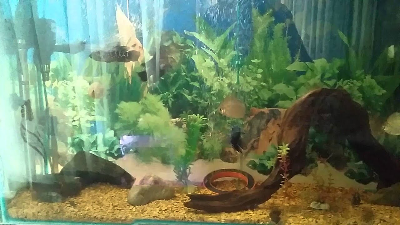 Nepal Aquarium Bhaktapur Agressive Fishes And Flower Horn Youtube