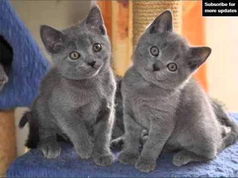 Chartreux Kitten | Picture Ideas Of Cats